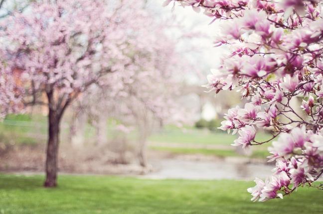 magnolia-trees-556718_1280-2