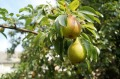 pears-1639117_640